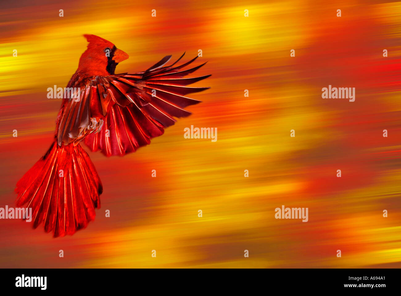Male Northern Cardinal (Cardinalis cardinalis) flying by trees with autumn foliage, Missouri USA - Stock Image