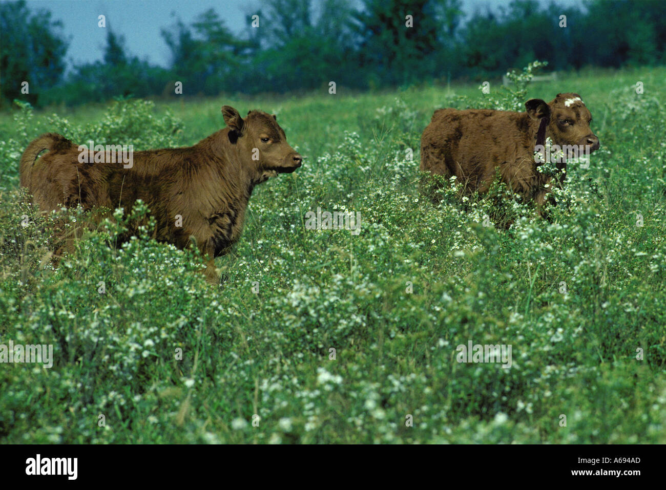 Two calves in pasture with wild asters, Missouri USA - Stock Image