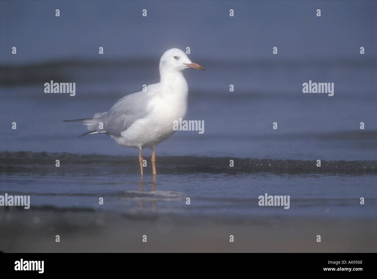 SLENDER BILLED GULL Larus genei Stock Photo