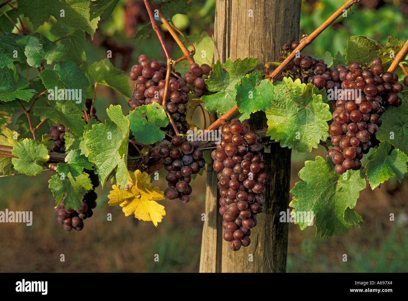 Pinot Gris wine grapes on vine Champoeg Vineyards Willamette Valley Oregon - Stock Image