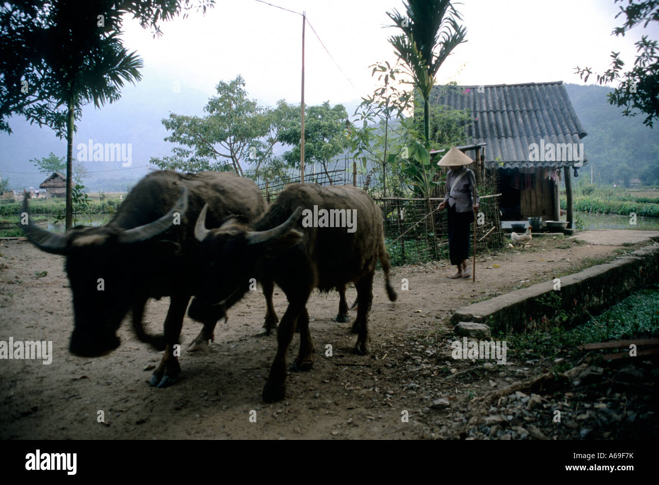 Farmer and his buffaloes returns in his village in the early morning after working in the fields , Vietnam - Stock Image