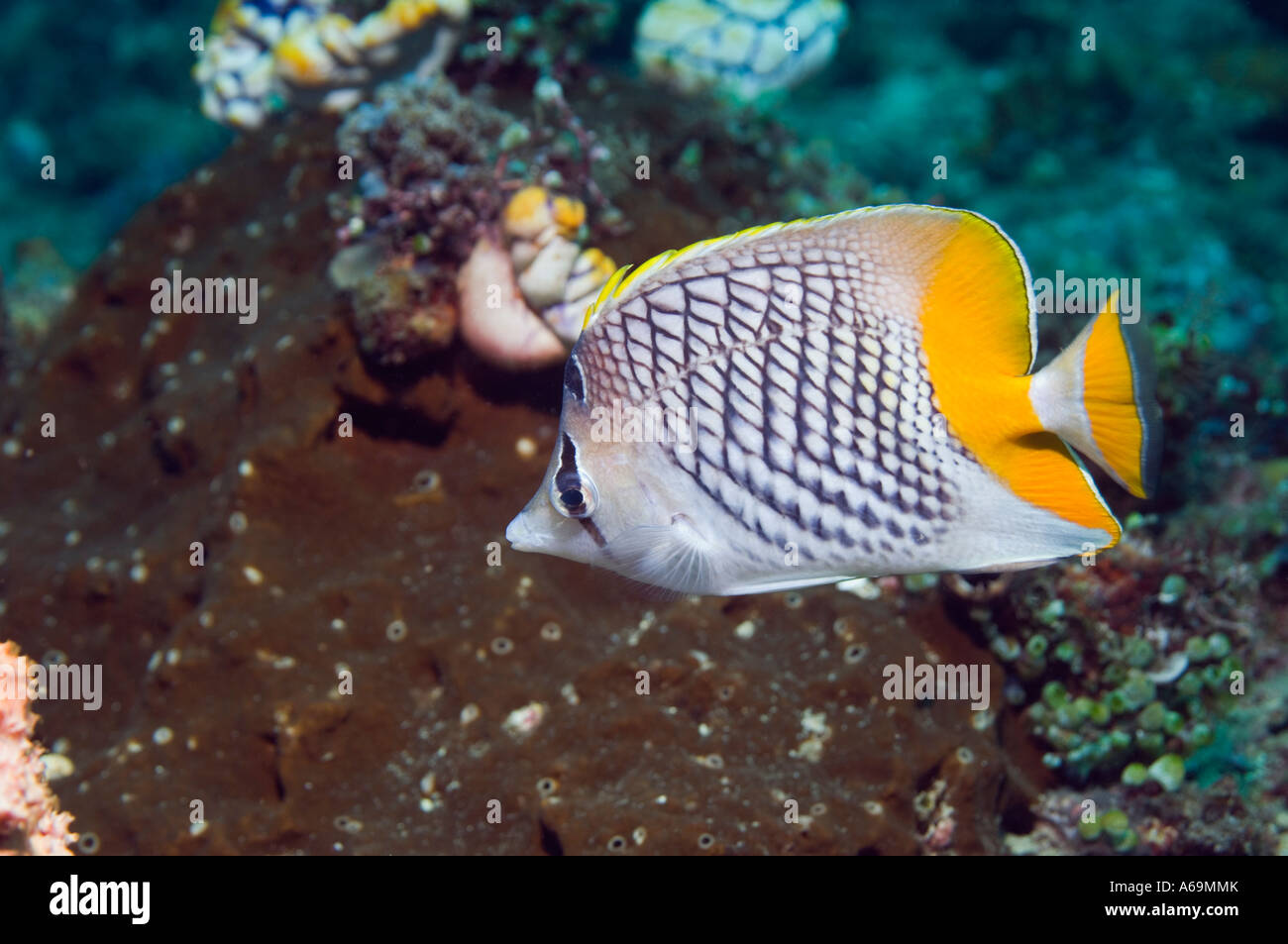 Cross hatch butterflyfish Chaetodon xanthurus Lembeh Strait North Sulawesi Indonesia - Stock Image