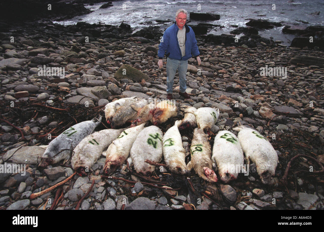 Ross Flett of Orkney Seal Rescue with seals that had been shot on one of the Orkney Islands The killer was never found but suspe - Stock Image