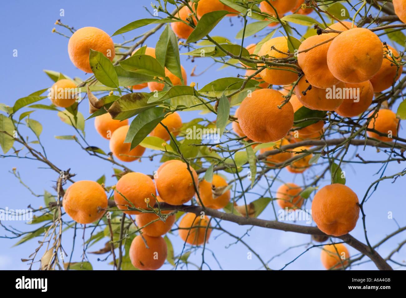 Bitter oranges on tree, Seville, Spain Stock Photo