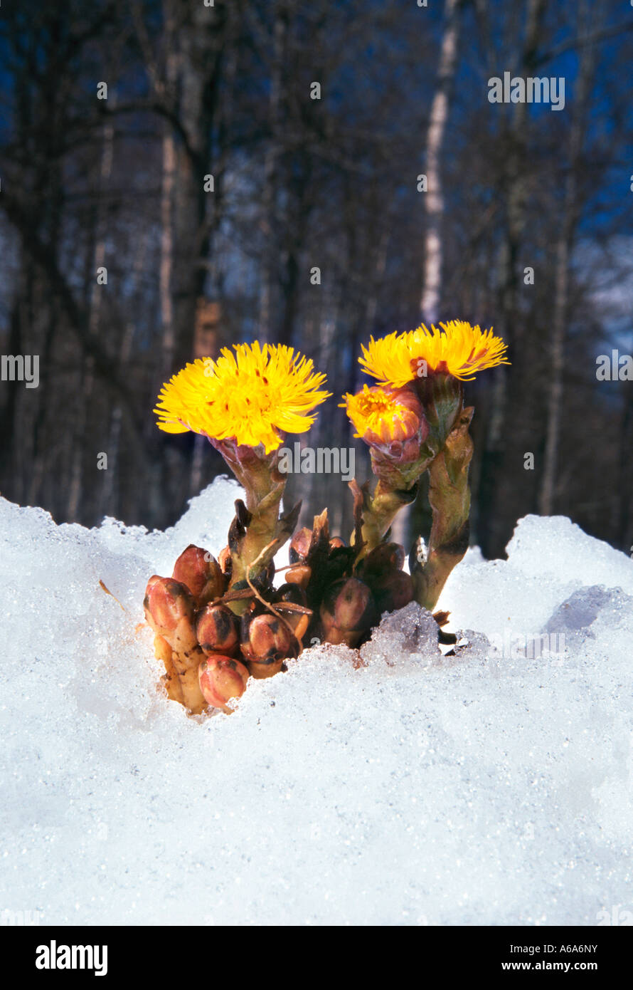 Early spring flower - Stock Image