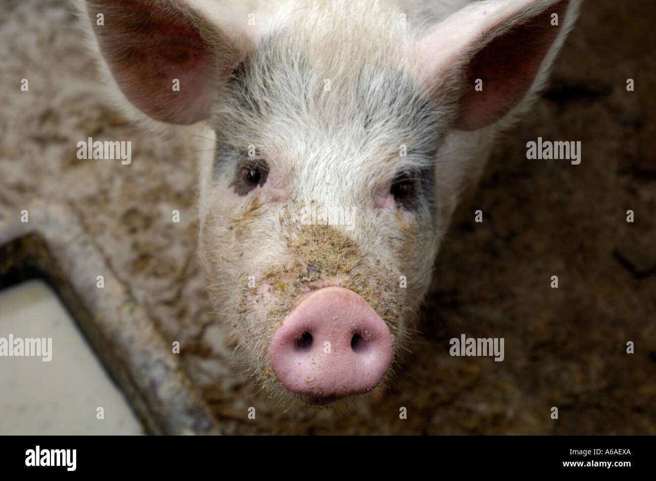 a pig in a rural village of Jiangxi, China. Feb 2 2006 - Stock Image
