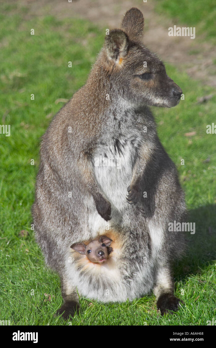 Bennetts Wallaby Adult High Resolution Stock Photography And Images Alamy