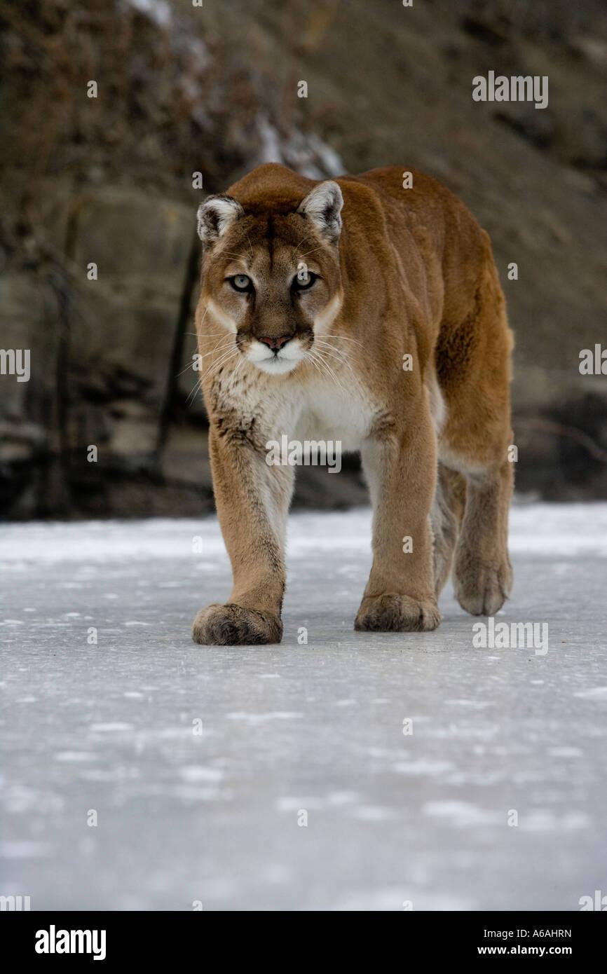Puma or Mountain lion Puma concolor - Stock Image