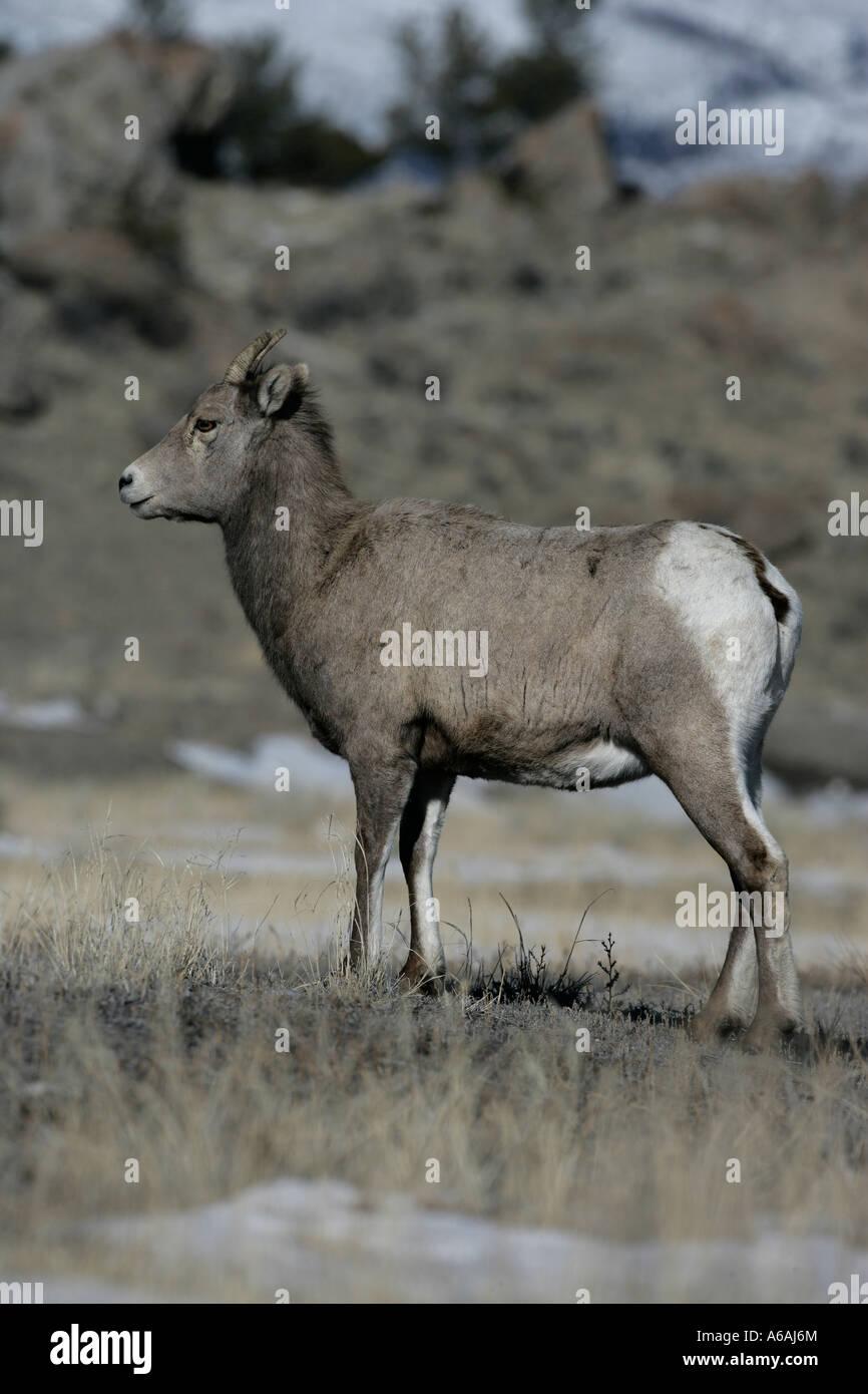 Big horn sheep Puma concolor Yellowstone USA female - Stock Image