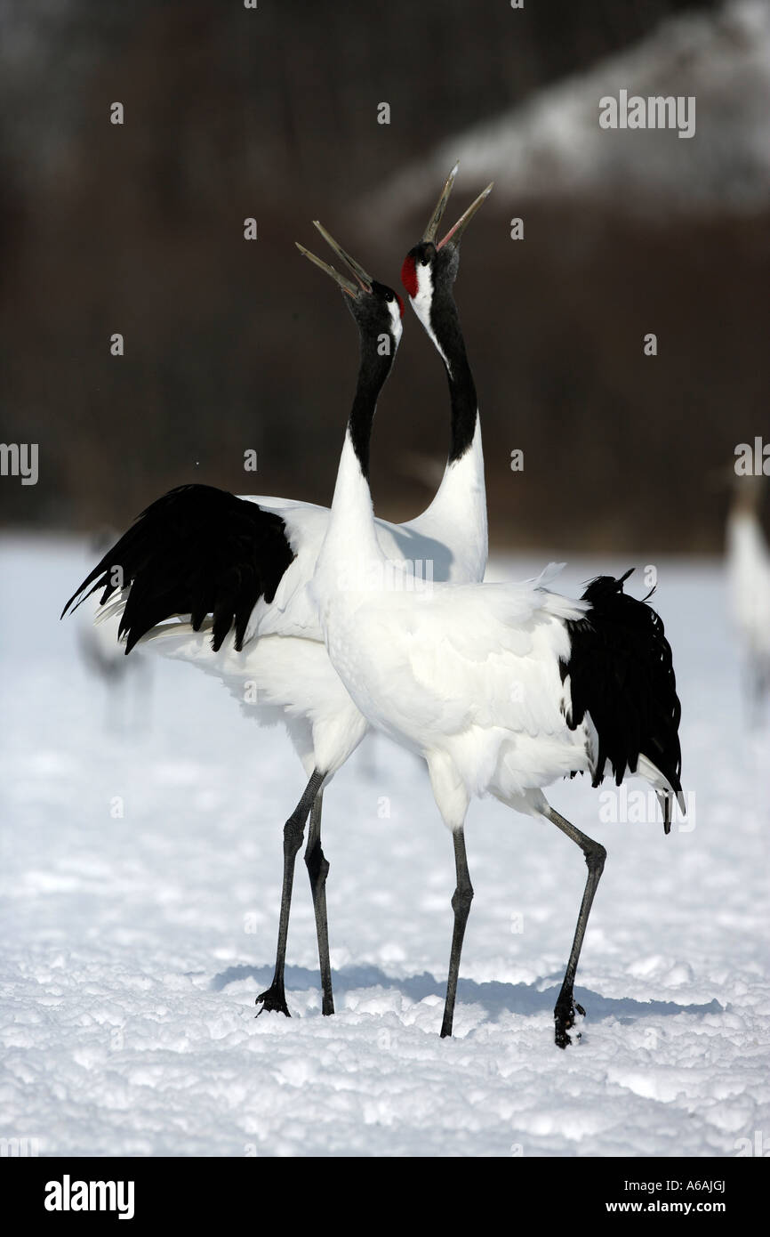 Japanese or red necked crane grus japonensi Japan - Stock Image