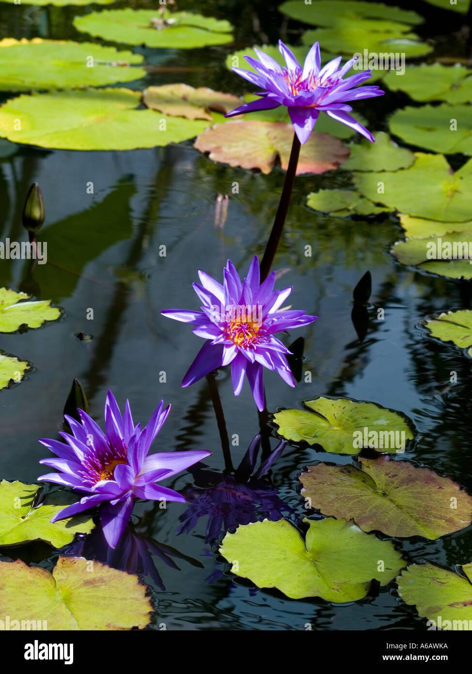 3 purple water lilies and lily pads nymphaea subtropical aquatic stock photo 6581497 alamy. Black Bedroom Furniture Sets. Home Design Ideas
