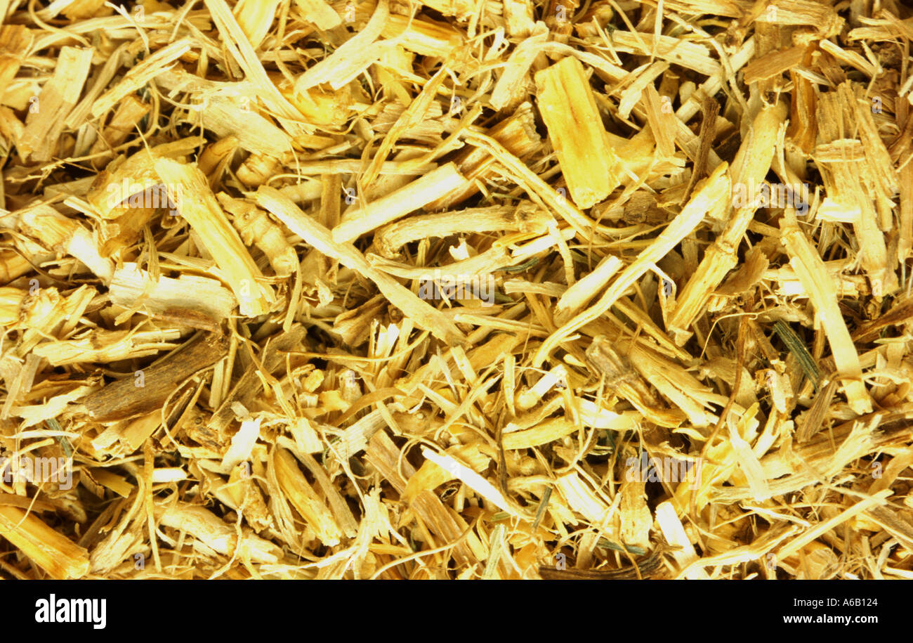 queckenwurzel medicinal plant root of the couch grass elymus repens - Stock Image