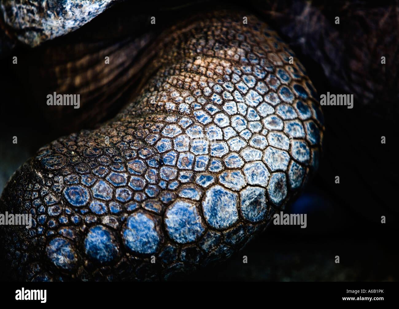 [Leg detail], of [Giant Tortoise] - 'Domaine Anna', near 'Flic en Flac', 'Mauritius' - Stock Image