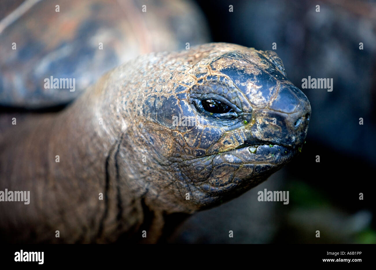 Smile!  [Giant tortoise] - 'Domaine Anna' Near 'Flic en Flac','Mauritius' - Stock Image