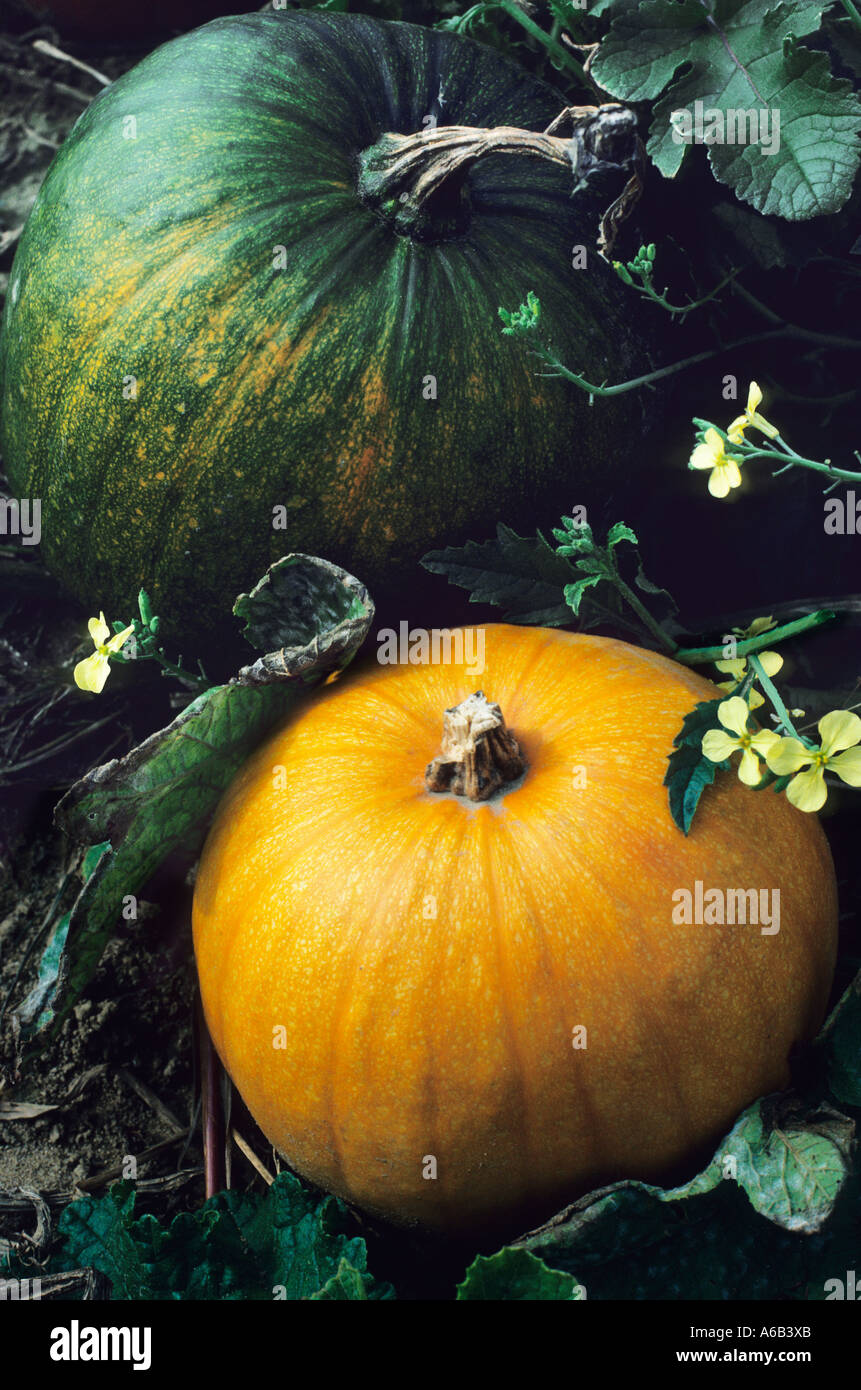 Pumpkins Ripening in a Field in the Autumn - Stock Image