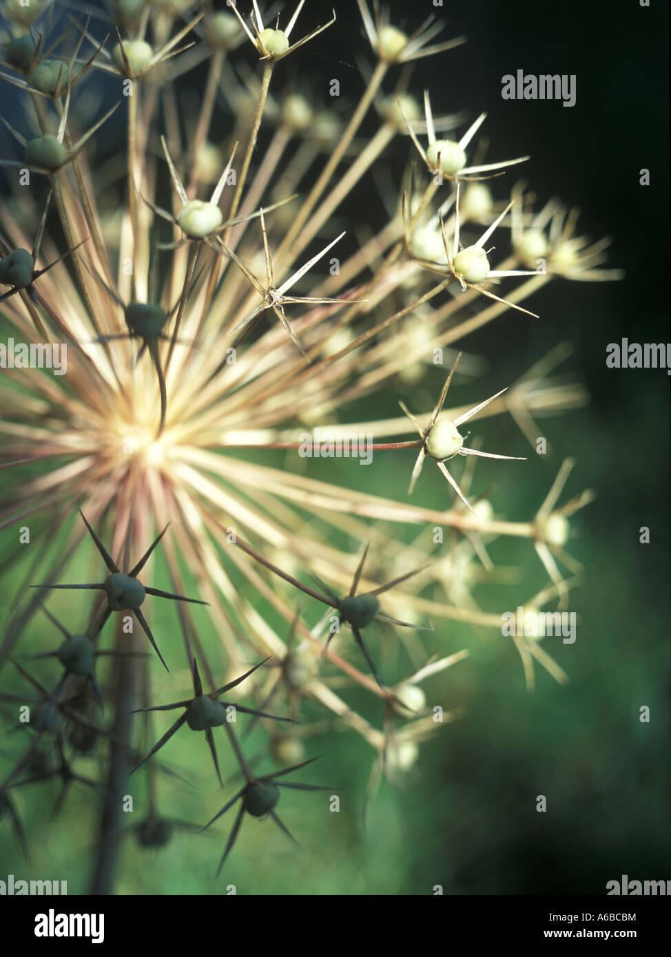 dry garden angelica Angelica archangelica inflorescence - Stock Image