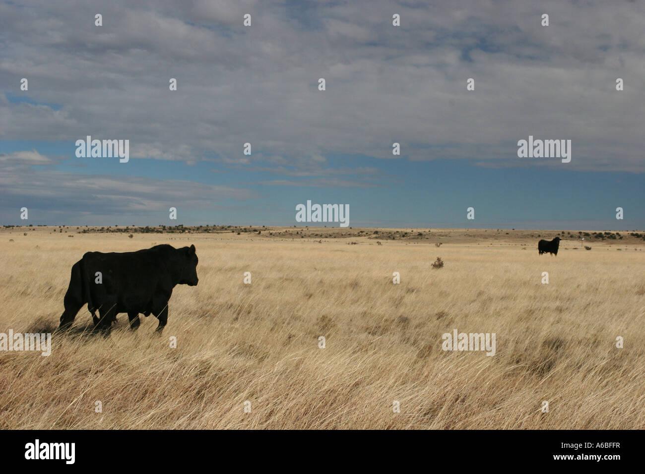 Bulls in hayfield Oklahoma, USA - Stock Image