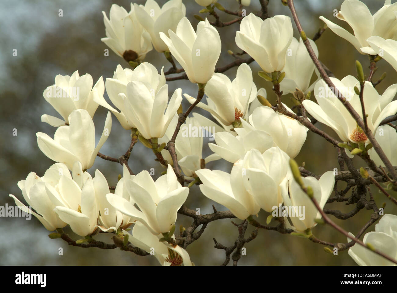 White magnolia flowers blooming magnolia denudata stock photo white magnolia flowers blooming magnolia denudata mightylinksfo