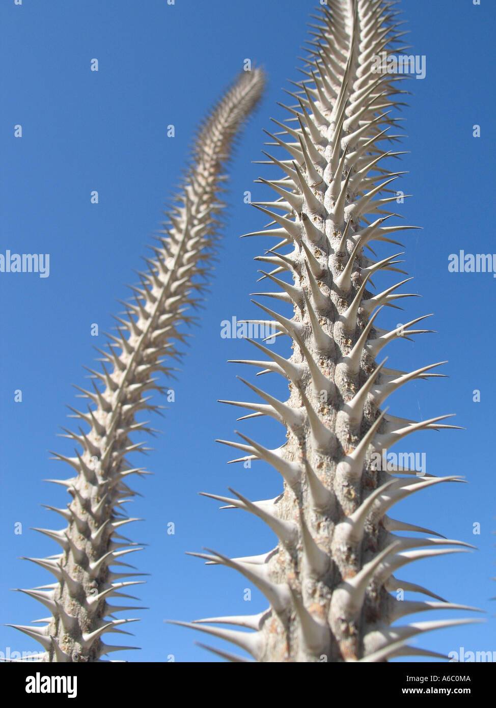 Thorny Cactus Rise Against the Blue Sky - Stock Image