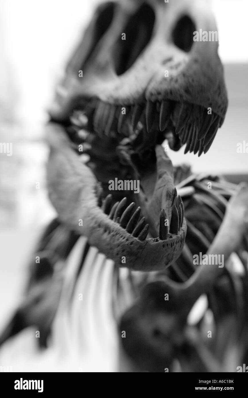 Stock photo of the skeleton of Tyrannosaurus rex, showing his large head and sharp teeth. - Stock Image