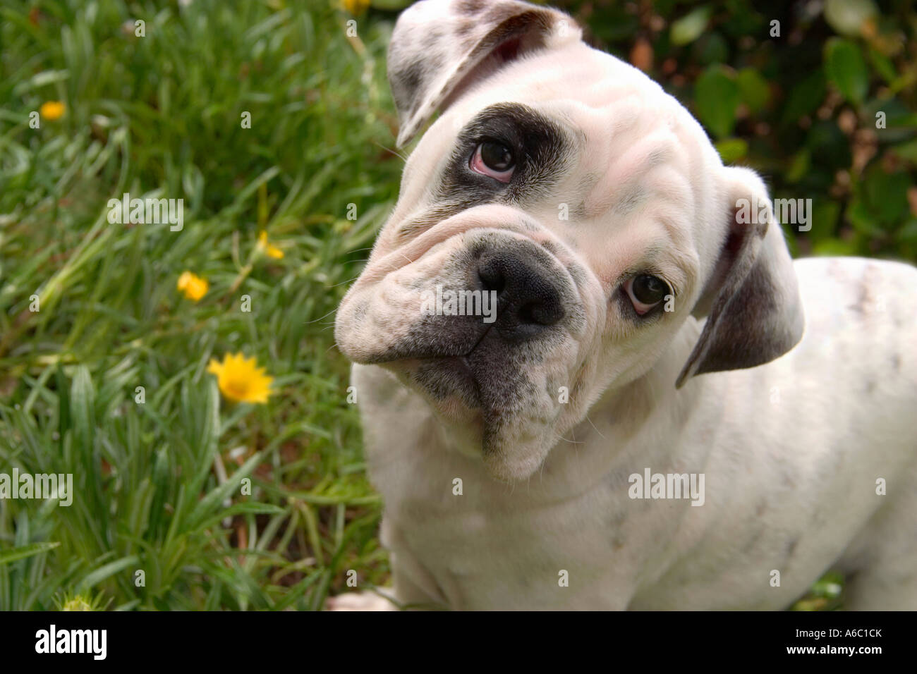 A loveable bull dog puppy looks at the camera with head cocked to one side. - Stock Image