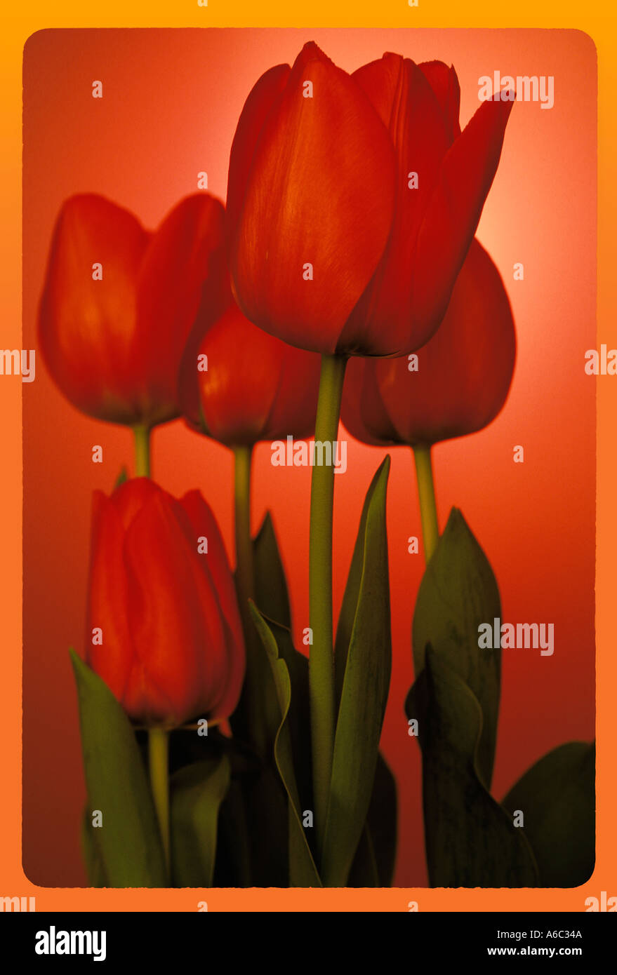 Composition of tulips - Stock Image