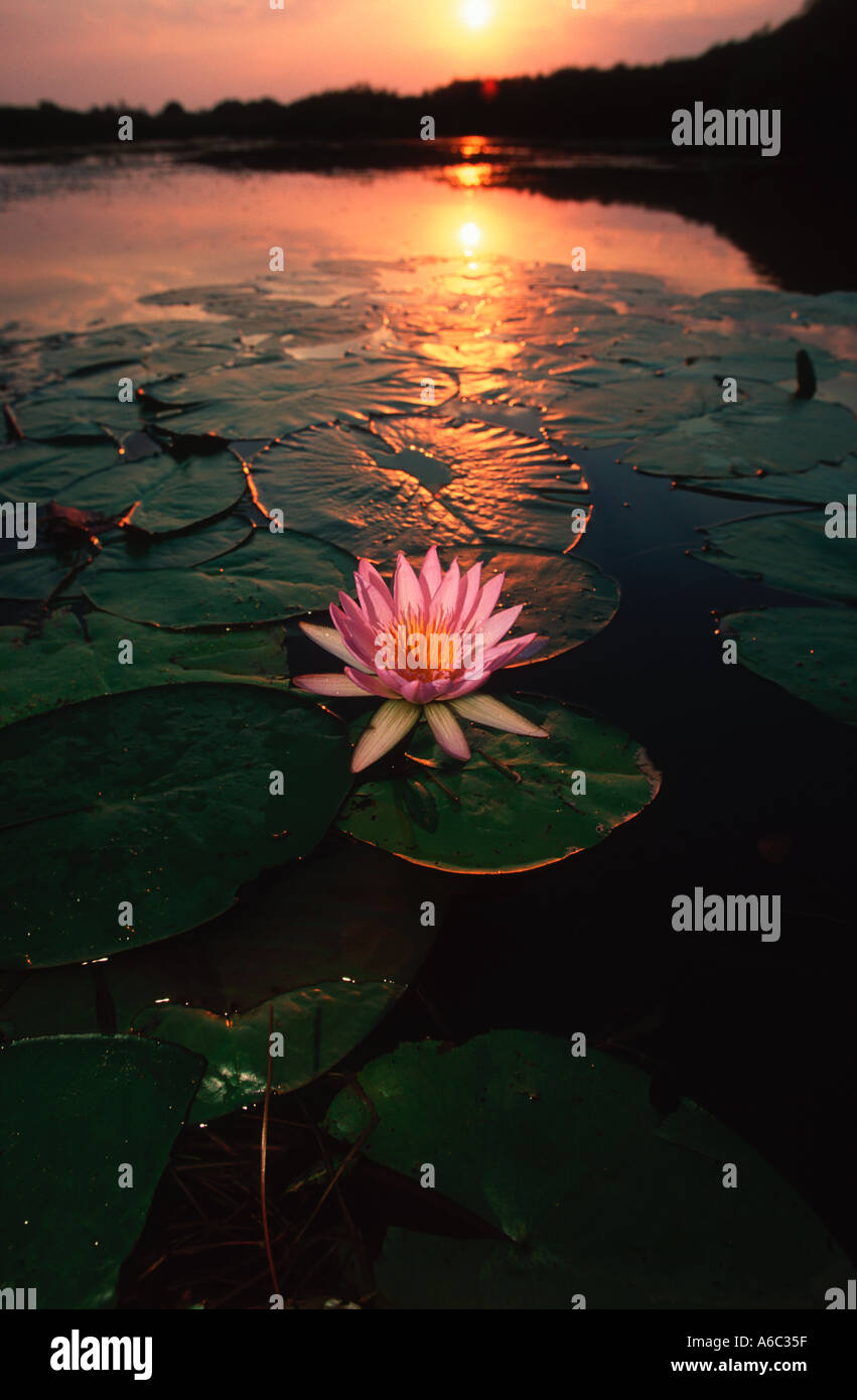 Waterlilies Nymphaea nouchali Waterlilies typical vegetation of lagoons in the Delta Okovango Botswana - Stock Image