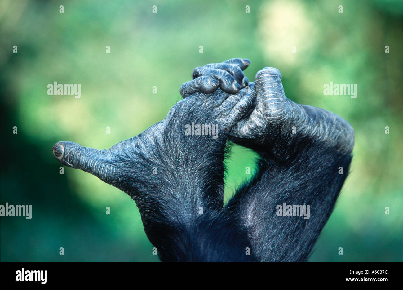 Chimpanzee Pan troglodytes Hands and feet have opposable digits Zambia West Central Africa - Stock Image