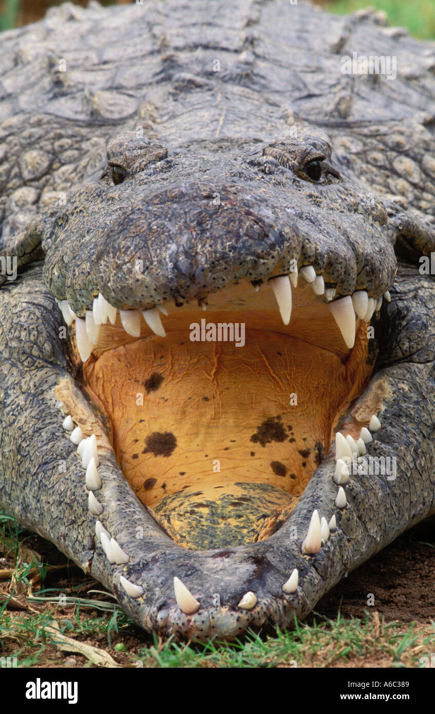 Nile Crocodile Crocodylus niloticus Basking open mouthed for temperature regulation Africa - Stock Image