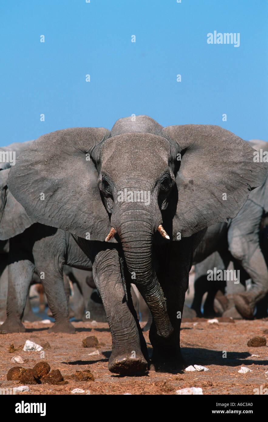 African elephant Loxodonta africana Charging elephant in aggressive posture Etosha National  Park Namibia Sub Saharan Africa - Stock Image