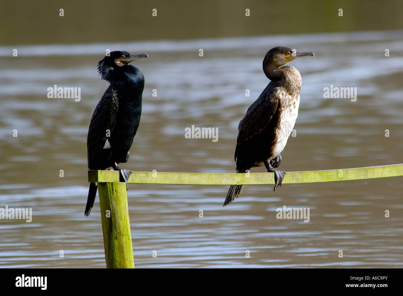 Two Cormorants Phalacrocorax carbo sitting on a wooden crossbeam one adult one juvenile both on one leg with left - Stock Image