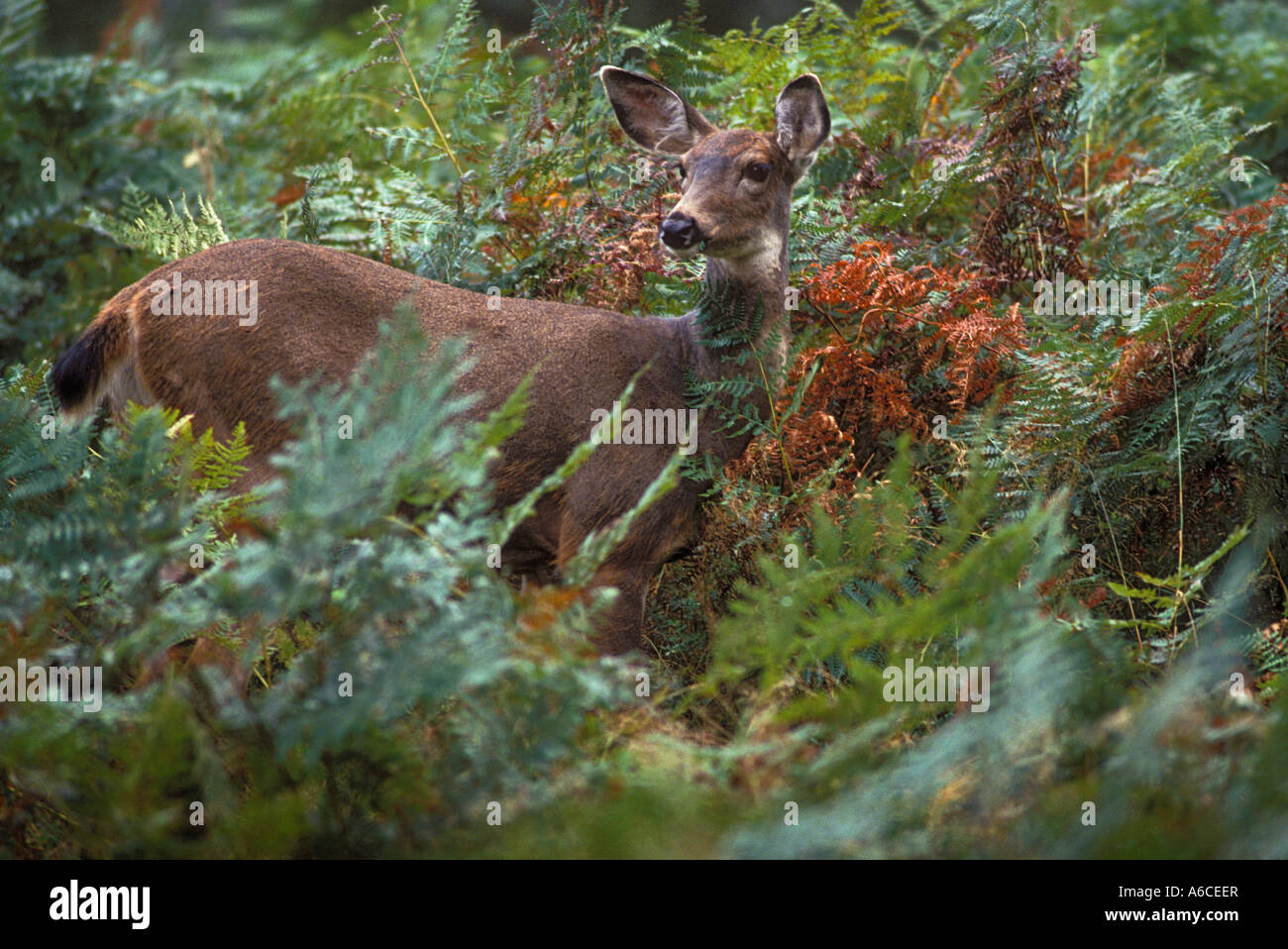 Blacktail Deer in thicket of ferns Quinault area Olympic National Park Washington - Stock Image