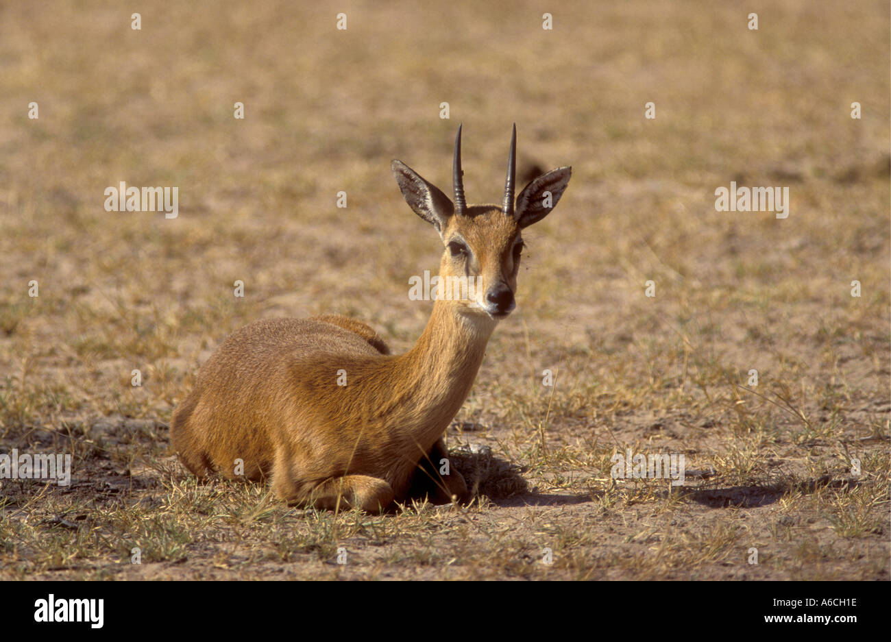 Oribi sitting down to chew the cud in Queen Elizabeth National Park Uganda East Africa - Stock Image