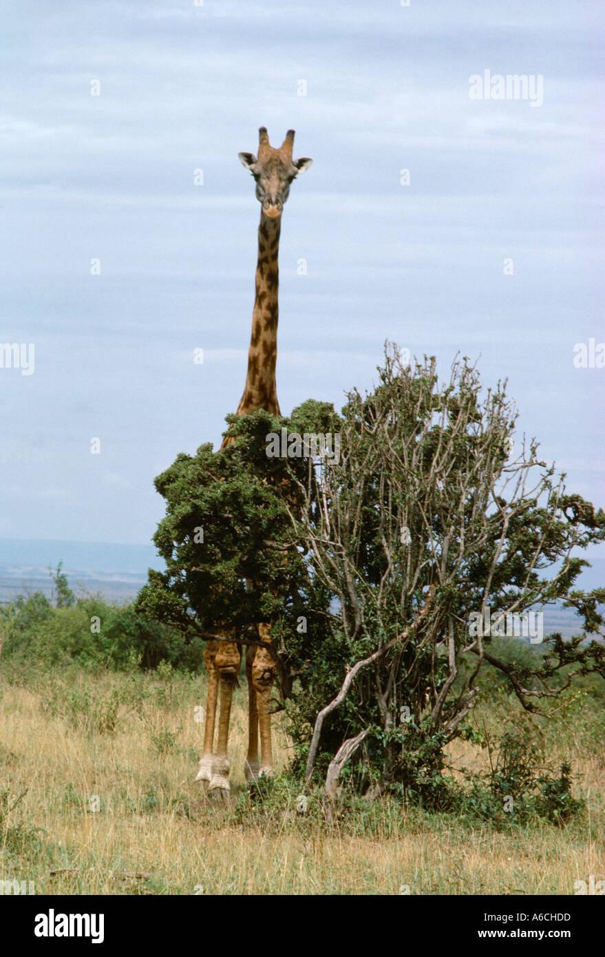Hidden Giraffe Stock Photos Hidden Giraffe Stock Images Page 2