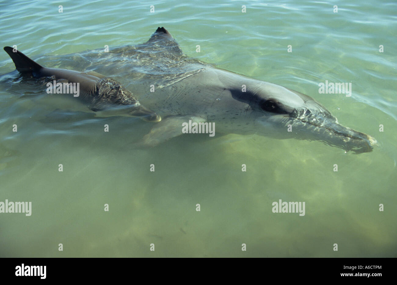 Indo Pacific bottlenose dolphin with calf Tursiops aduncus Monkey Mia Shark Bay Western Australia - Stock Image