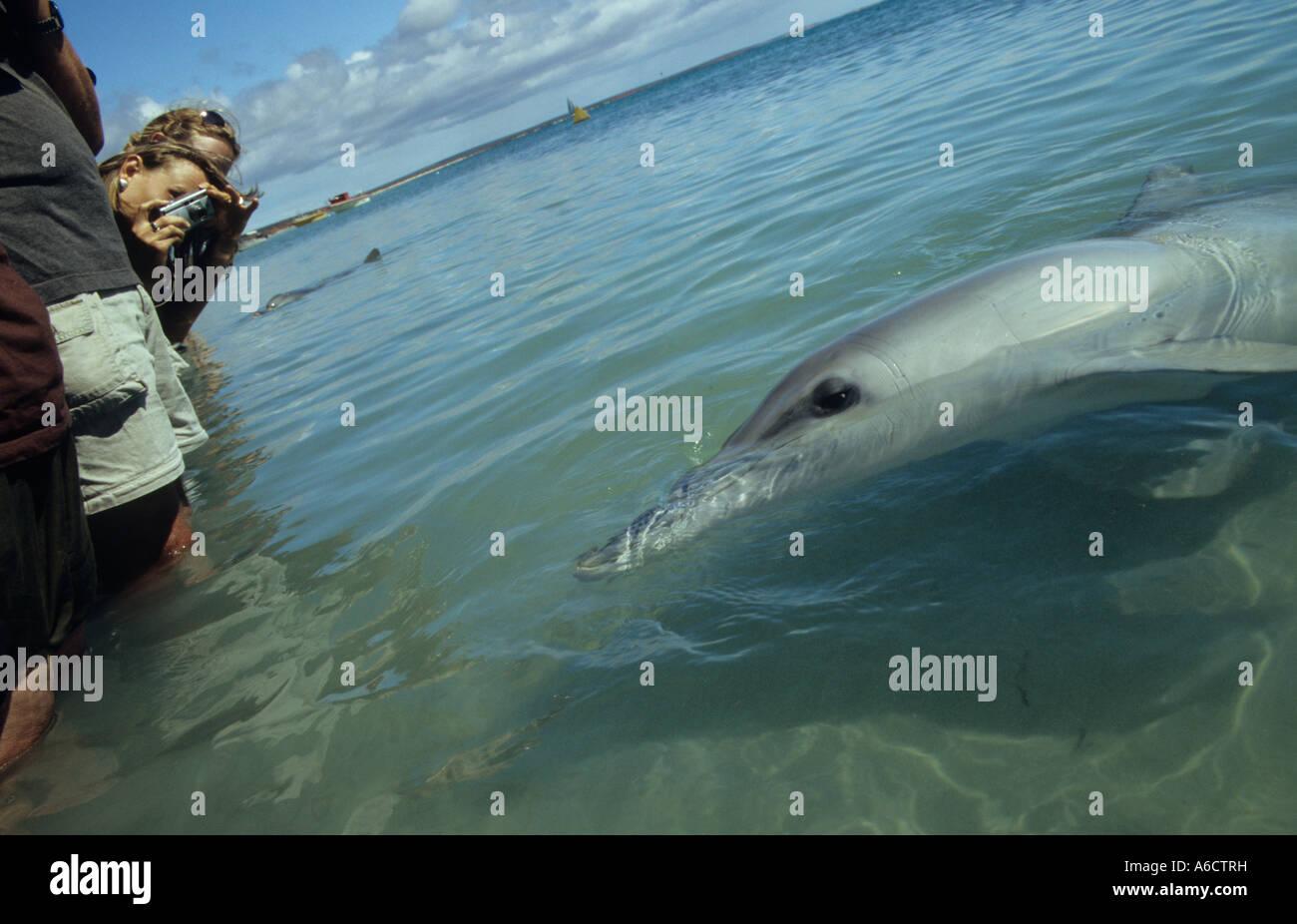 Indo Pacific bottlenose dolphin and ecotourists Tursiops aduncus Monkey Mia Shark Bay Western Australia - Stock Image
