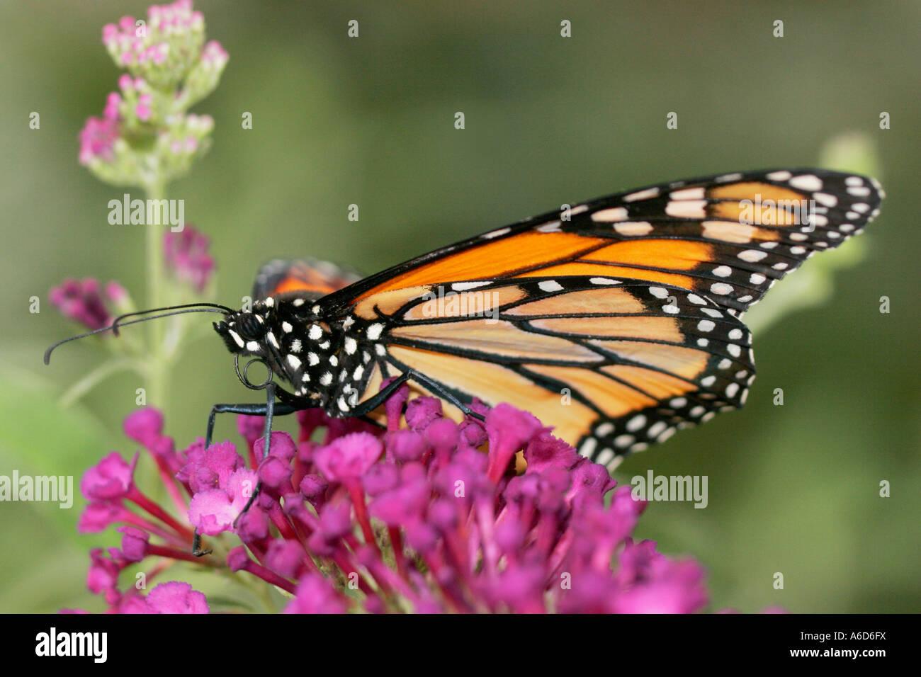 Monarch Butterlfy - Stock Image