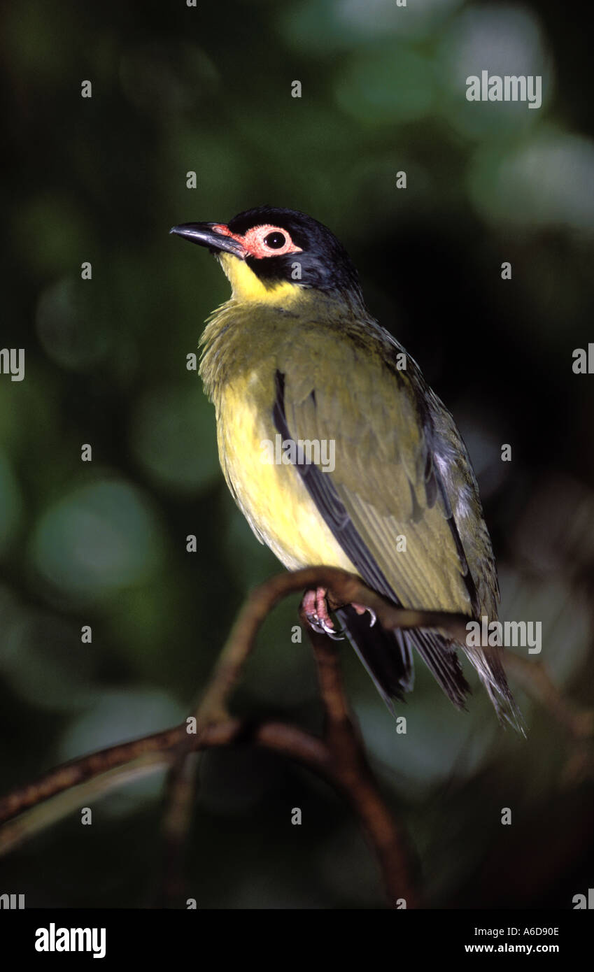 Figbird Sphecotheres viridis queensland australia Stock Photo