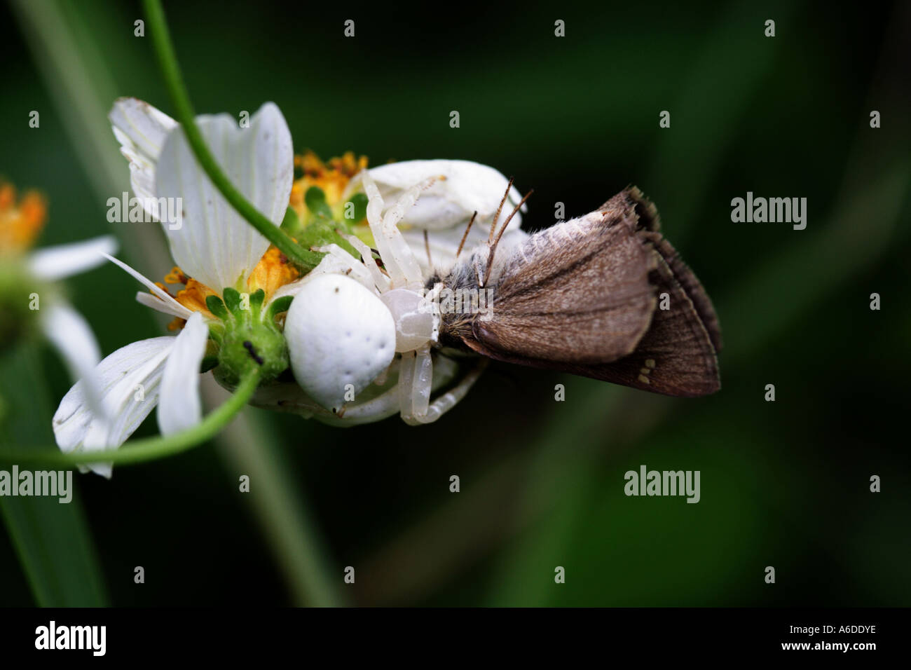 Thomisidae sp stock photos thomisidae sp stock images alamy close up of a white flower spider eating a moth bapda6186 stock image mightylinksfo