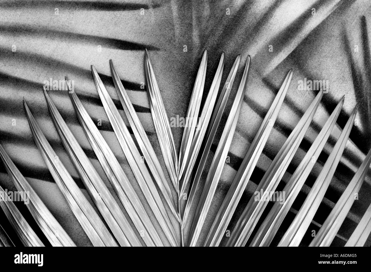 SILVER PALM FROND BAPDB5963 - Stock Image