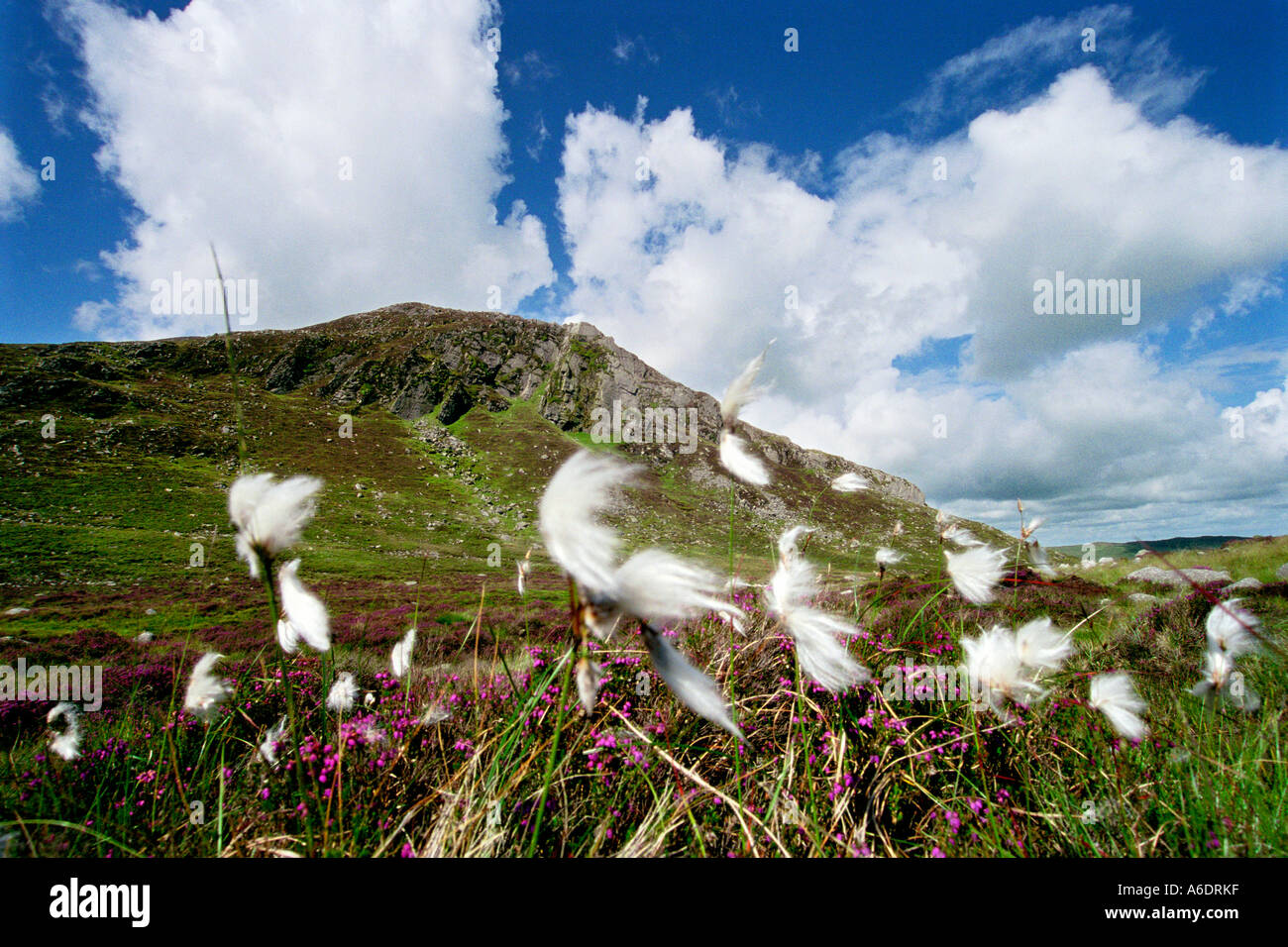 Bog Cotton on the Mournes, Co. Down, Northern Ireland - Stock Image