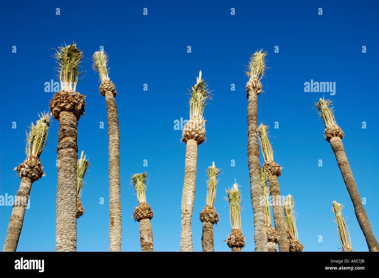 Freshly planted palm with palm fronds tied together in front of blue sky, Villajoyosa, Vila Joiosa, Costa Blanca, Spain - Stock Image