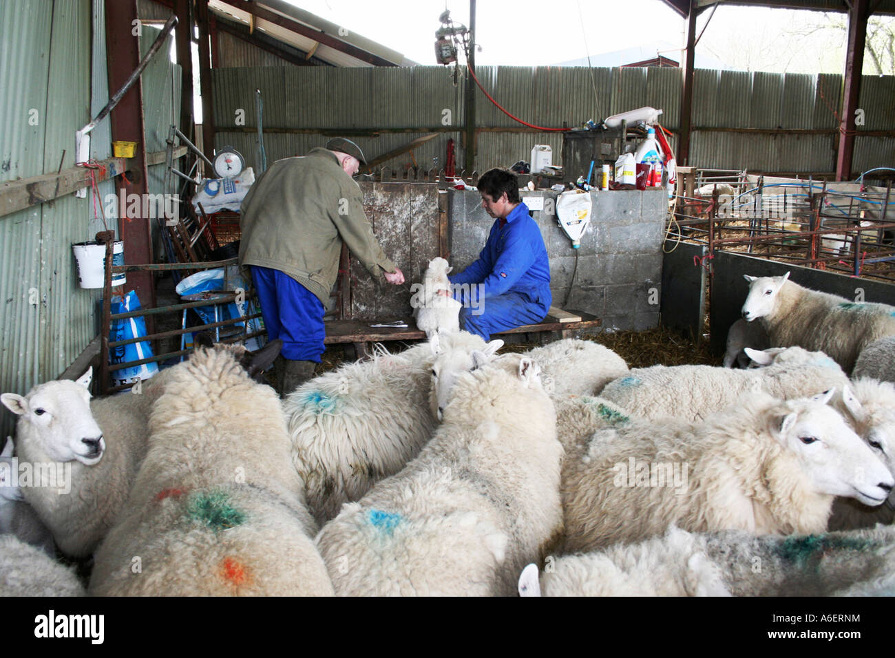 Spring lambs getting health checks and identification brand markings. Flock of sheep. Farm in Wales.   UK. Barn - Stock Image