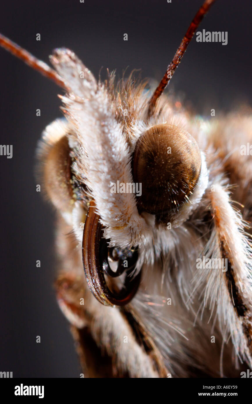 Extreme Closeup of Painted Lady Butterfly Head - Stock Image