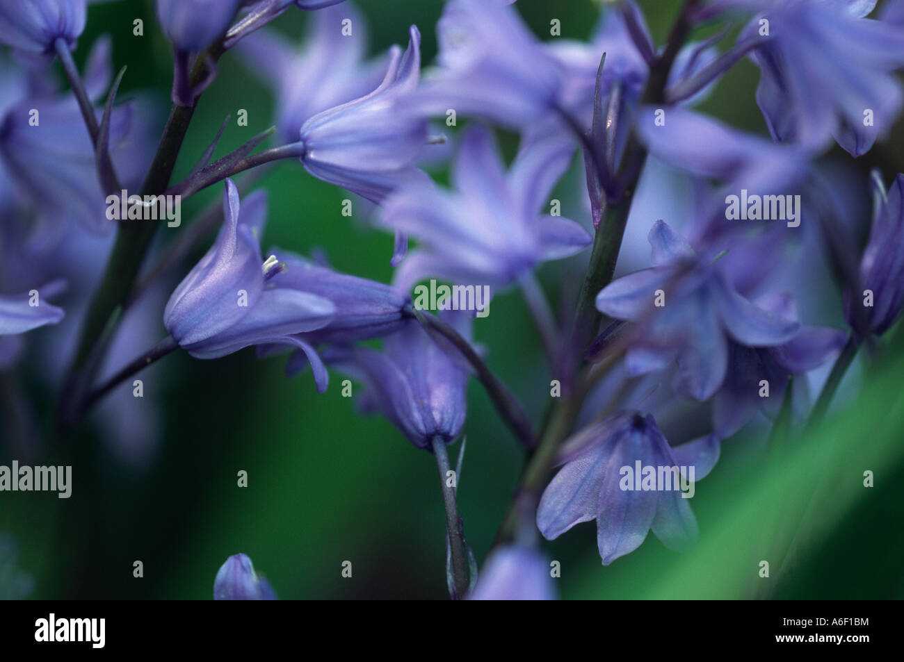 Close up of bluebell flower, spring in the UK. - Stock Image