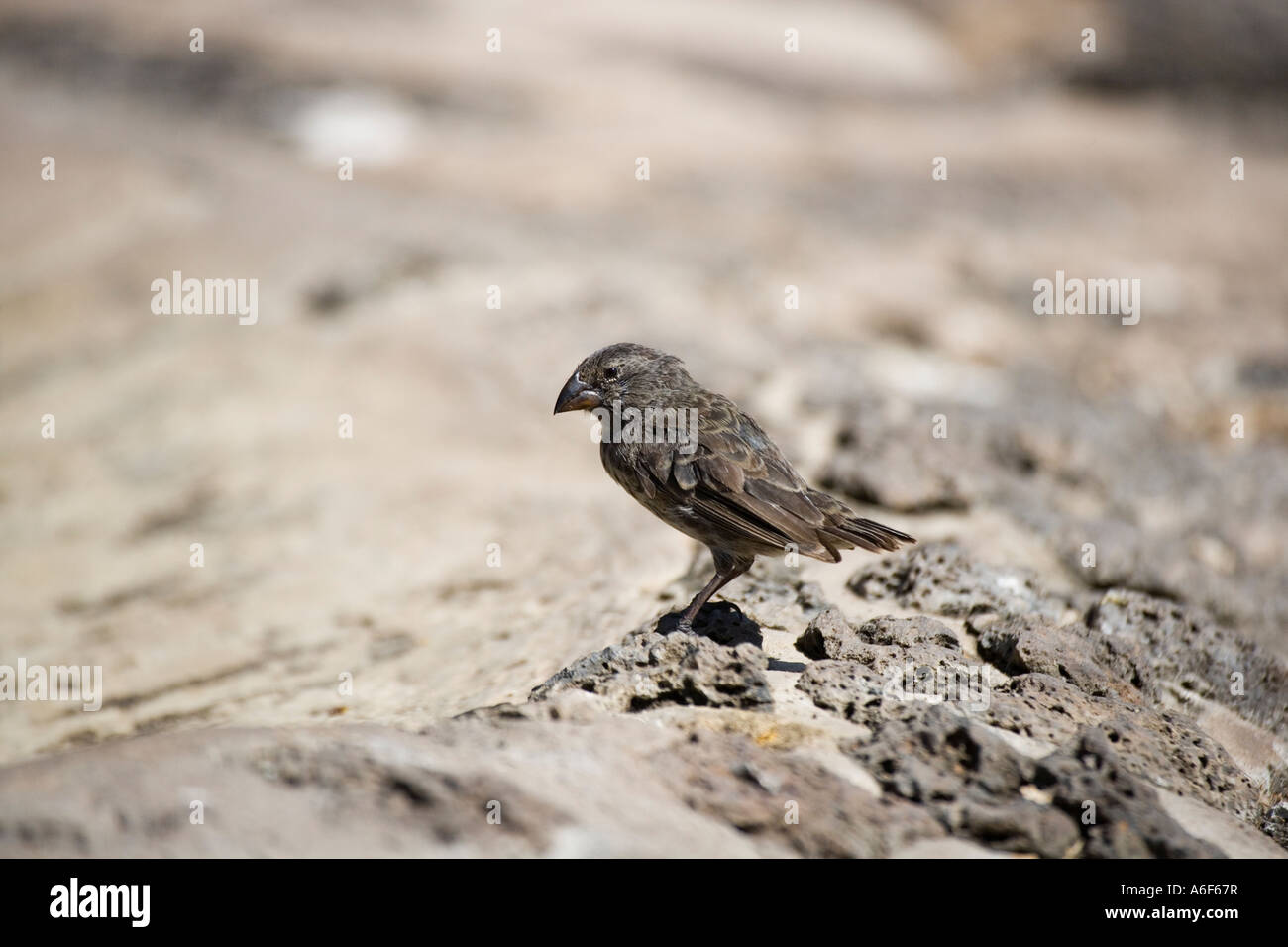 Darwins finch on Santa Cruz island Galapagos Ecuador South America - Stock Image