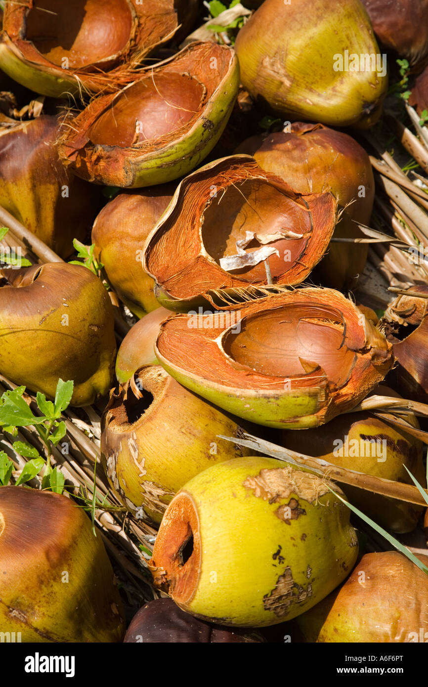 BELIZE Ambergris Caye Opened coconuts and unopened in pile along shore - Stock Image