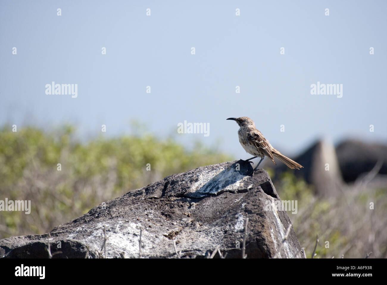 Galapagos Mocking Bird - Stock Image