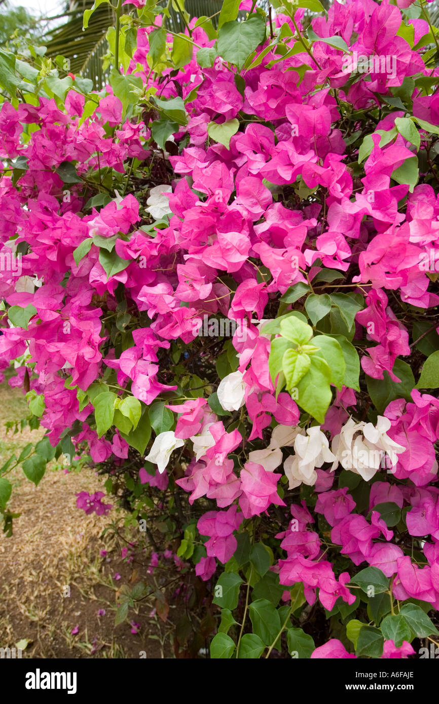 Purple and white flowers of the south american woody shrub stock purple and white flowers of the south american woody shrub bougainvillaea now a common garden plant in kenya mightylinksfo