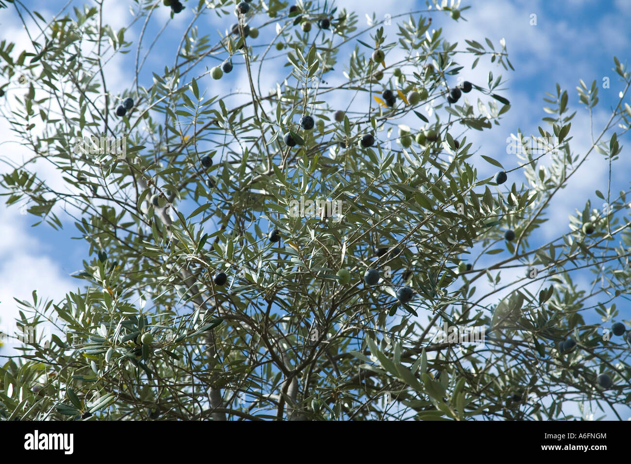 California Olive Tree Full Of Olives Ready To Harvest Stock Photo